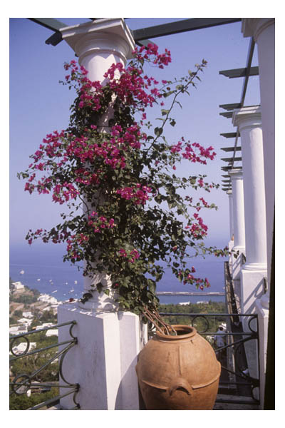 Oleander vine from vase on column, Capri, Italy